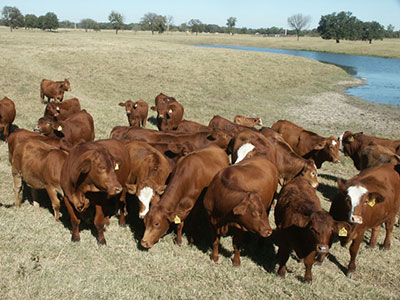 group of Composite Simbrah Females - Filegonia Cattle Company