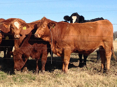Simbrah Replacement heifers for sale - bred and open replacement heifers for sale by private treaty - Filegonia Cattle Company
