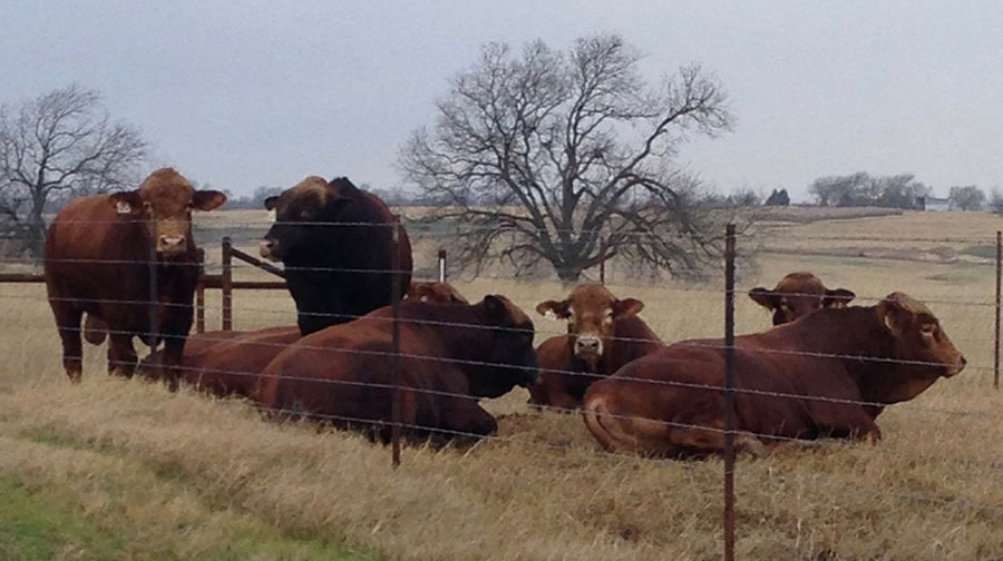 SimAngus™HT, SimAngus™, Simbrah and Simmental cattle - Filegonia Cattle - Texas