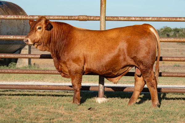 TBR AMIGO F099  - Filegonia Cattle Company